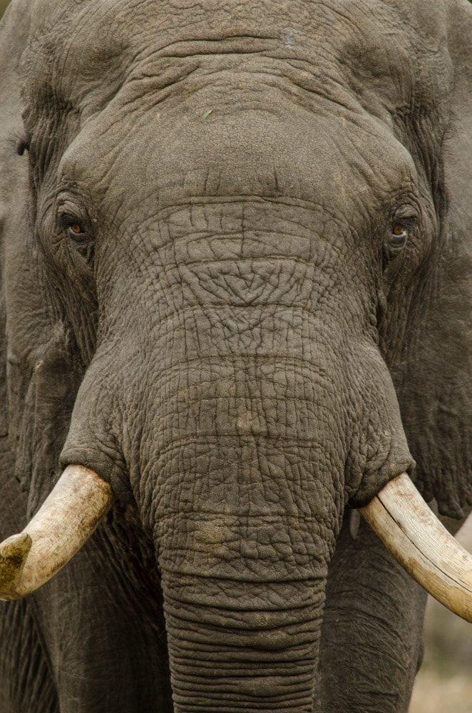 safari's op maat - olifant close up